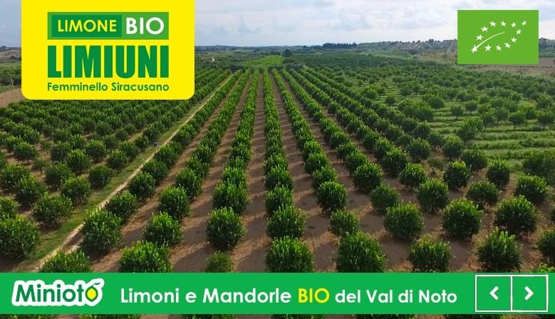 Limone primo fiore Bio Val di Noto - Limoni di Sicilia